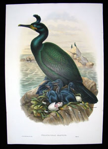 John Gould CRESTED CORMORANT