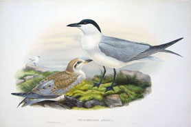 John Gould Prints For Sale