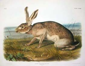 Audubon Quadruped Imperial Folio Prints For Sale